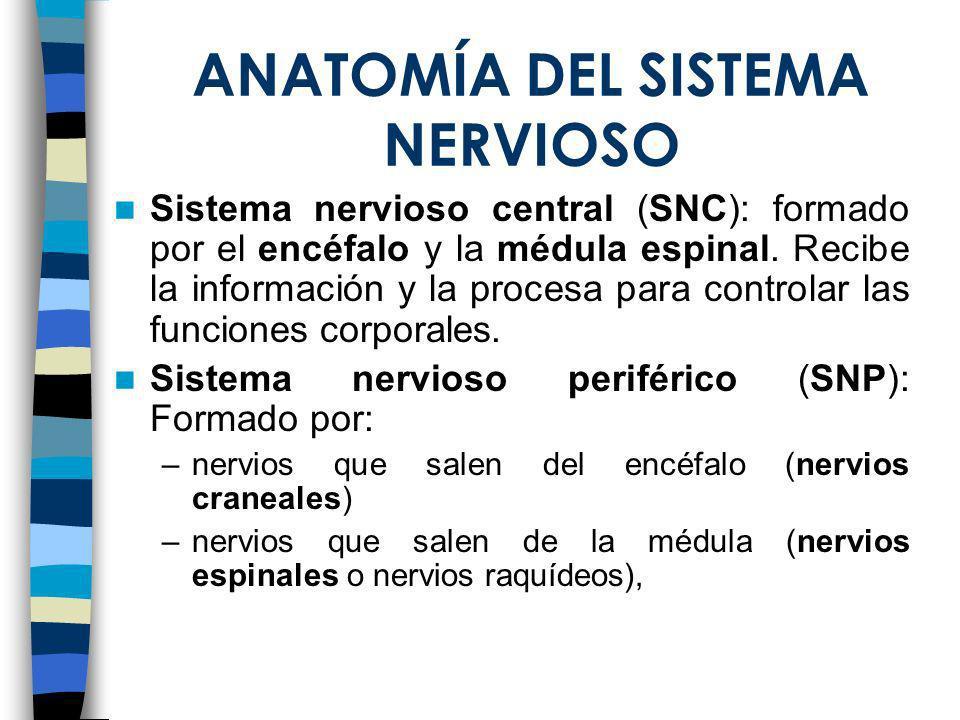 ANATOMÍA DEL SISTEMA NERVIOSO Sistema nervioso central (SNC): formado por el encéfalo y la médula espinal. Recibe la información y la procesa para con