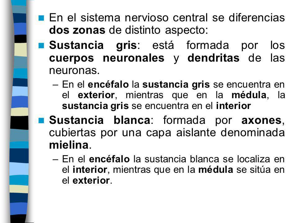 En el sistema nervioso central se diferencias dos zonas de distinto aspecto: Sustancia gris: está formada por los cuerpos neuronales y dendritas de la