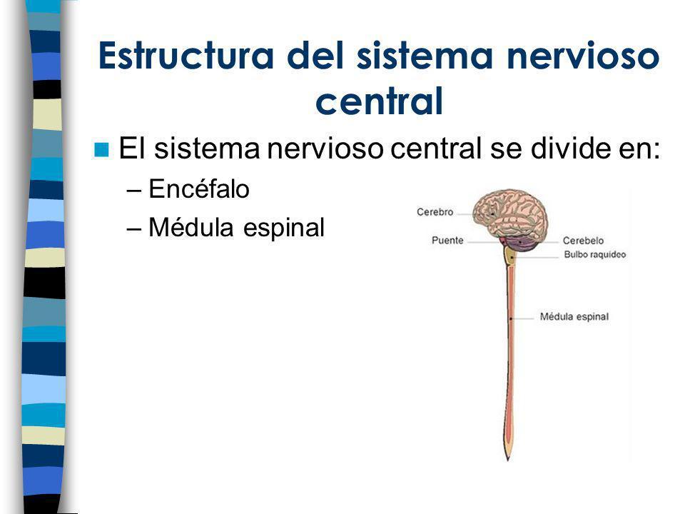 Estructura del sistema nervioso central El sistema nervioso central se divide en: –Encéfalo –Médula espinal