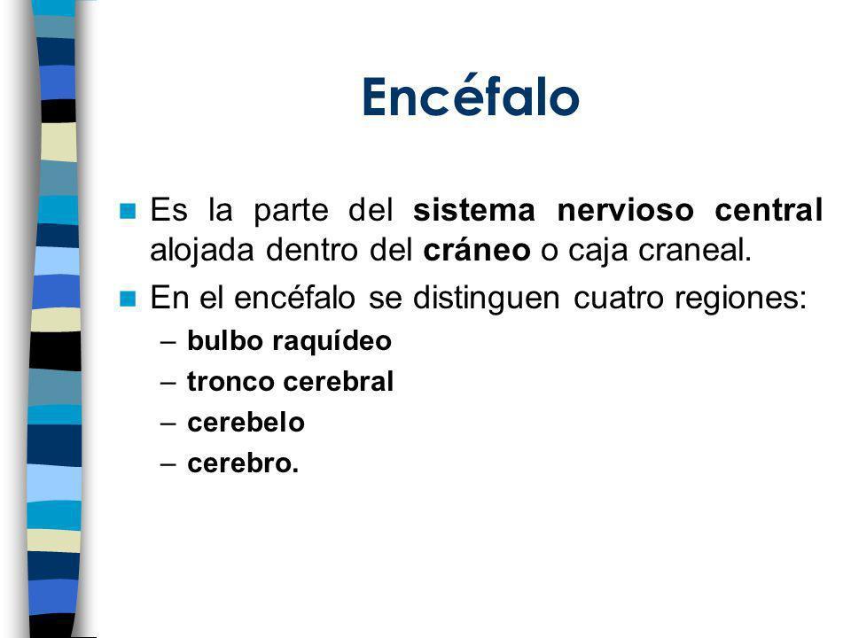 Encéfalo Es la parte del sistema nervioso central alojada dentro del cráneo o caja craneal. En el encéfalo se distinguen cuatro regiones: –bulbo raquí