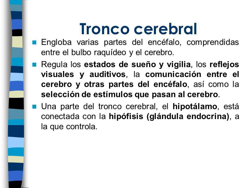 Tronco cerebral Engloba varias partes del encéfalo, comprendidas entre el bulbo raquídeo y el cerebro. Regula los estados de sueño y vigilia, los refl