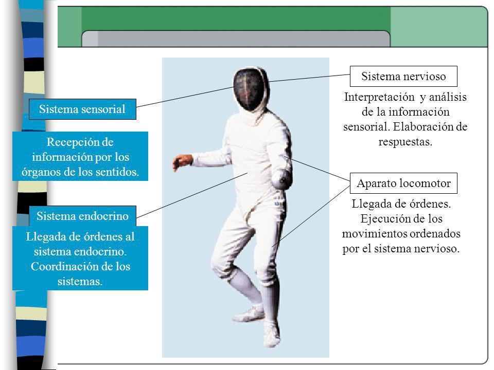 Sistema sensorial Aparato locomotor Sistema endocrino Sistema nervioso Recepción de información por los órganos de los sentidos. Llegada de órdenes al