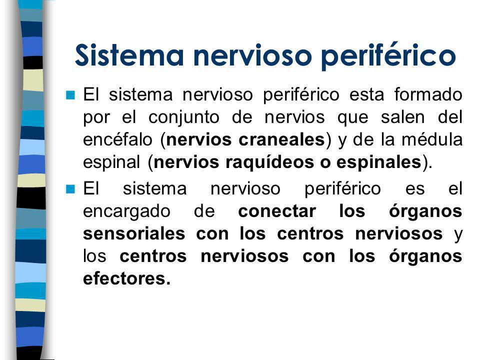 El sistema nervioso periférico esta formado por el conjunto de nervios que salen del encéfalo (nervios craneales) y de la médula espinal (nervios raqu