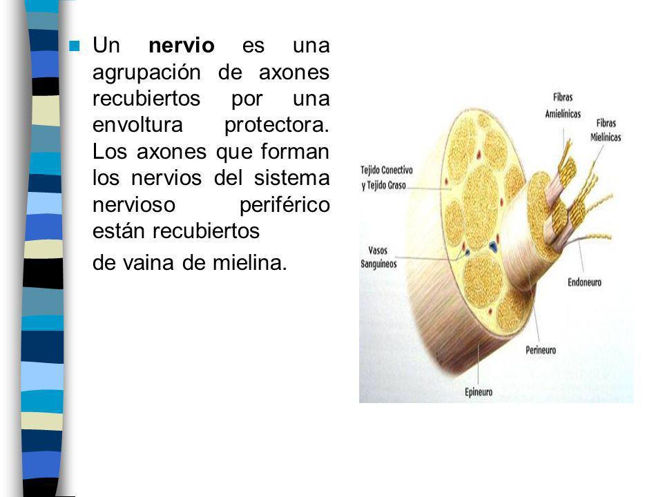 Un nervio es una agrupación de axones recubiertos por una envoltura protectora. Los axones que forman los nervios del sistema nervioso periférico está