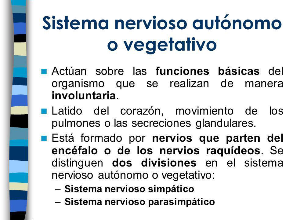 Sistema nervioso autónomo o vegetativo Actúan sobre las funciones básicas del organismo que se realizan de manera involuntaria. Latido del corazón, mo