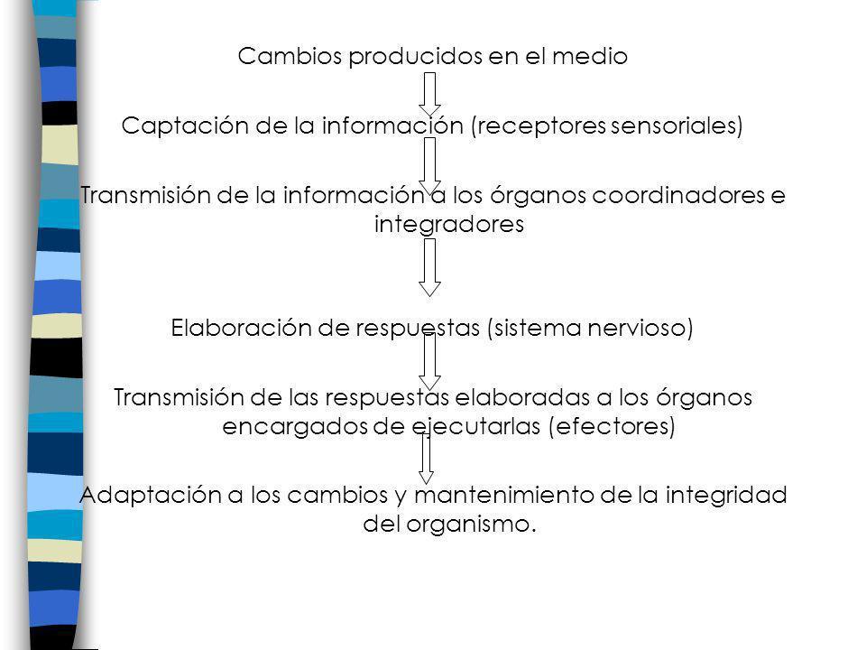 Cambios producidos en el medio Captación de la información (receptores sensoriales) Transmisión de la información a los órganos coordinadores e integr