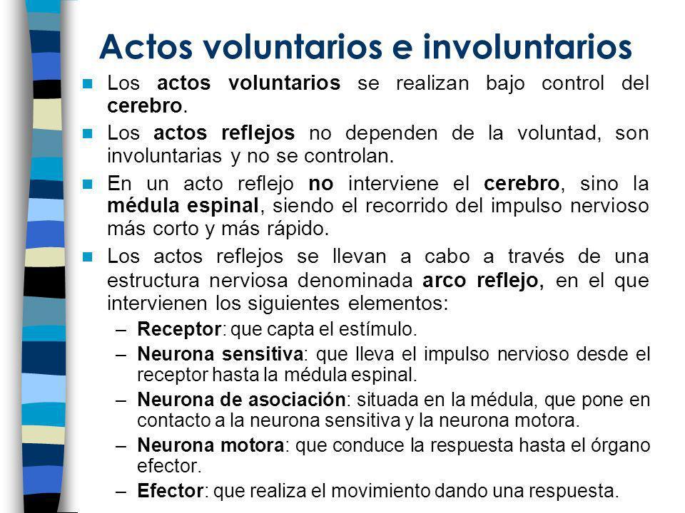 Actos voluntarios e involuntarios Los actos voluntarios se realizan bajo control del cerebro. Los actos reflejos no dependen de la voluntad, son invol