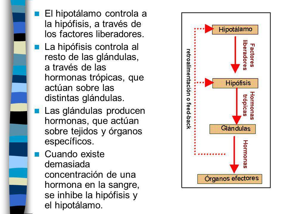 El hipotálamo controla a la hipófisis, a través de los factores liberadores. La hipófisis controla al resto de las glándulas, a través de las hormonas