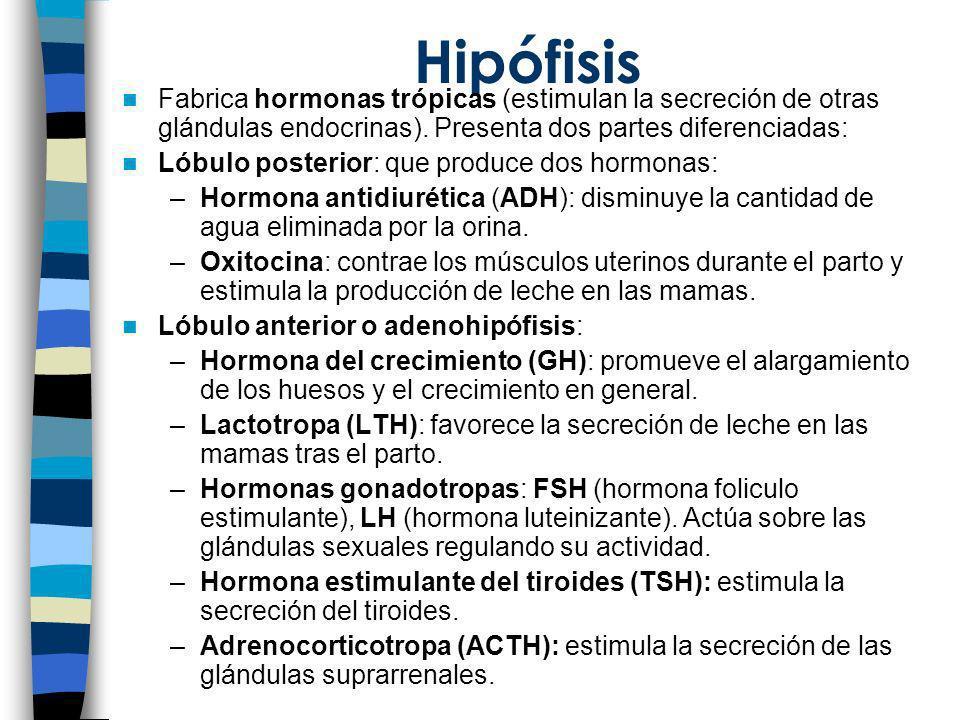 Hipófisis Fabrica hormonas trópicas (estimulan la secreción de otras glándulas endocrinas). Presenta dos partes diferenciadas: Lóbulo posterior: que p