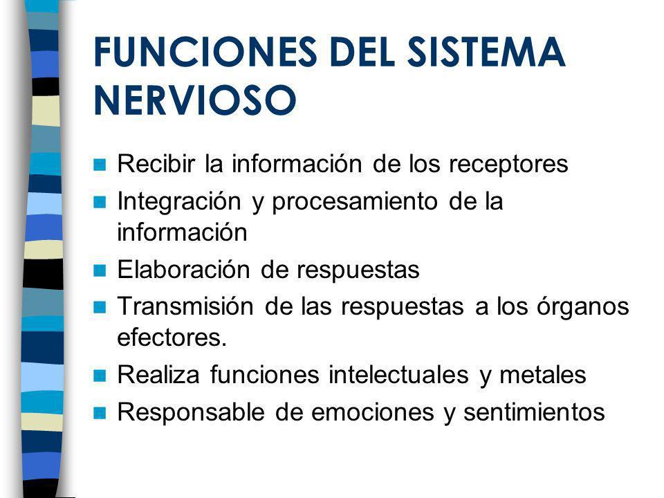 FUNCIONES DEL SISTEMA NERVIOSO Recibir la información de los receptores Integración y procesamiento de la información Elaboración de respuestas Transm
