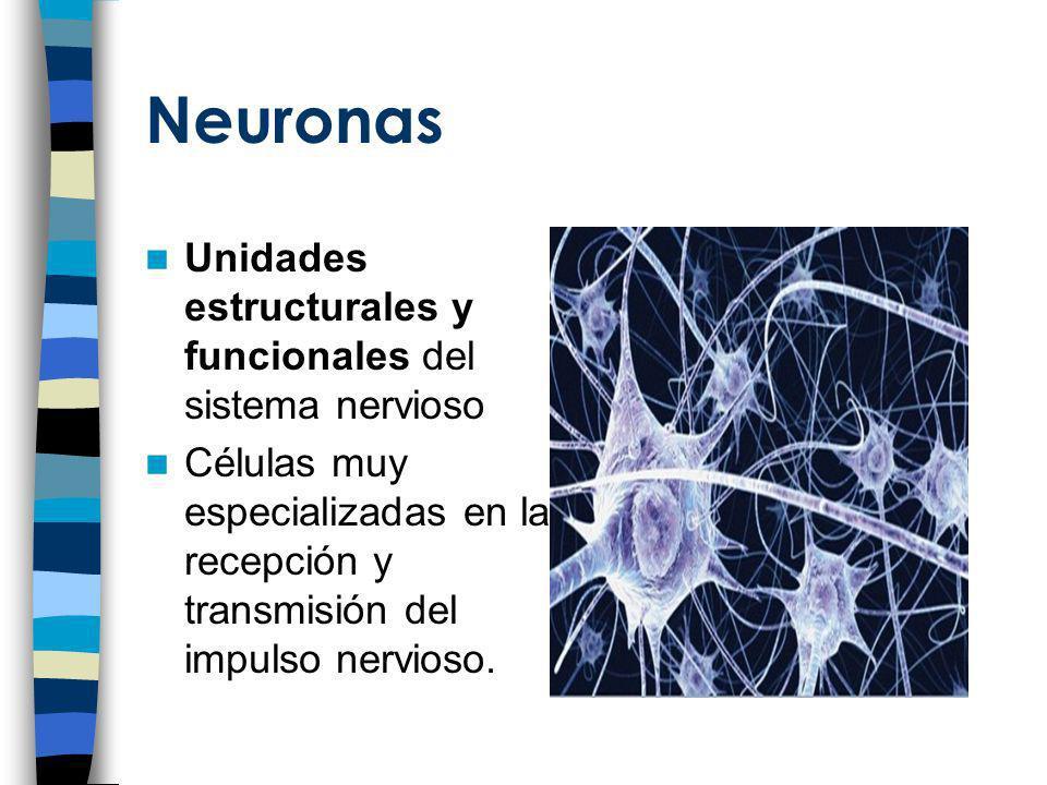 Neuronas Unidades estructurales y funcionales del sistema nervioso Células muy especializadas en la recepción y transmisión del impulso nervioso.