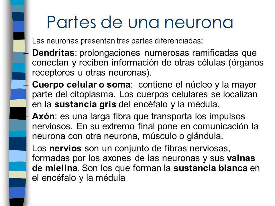 Partes de una neurona Las neuronas presentan tres partes diferenciadas : –Dendritas: prolongaciones numerosas ramificadas que conectan y reciben infor