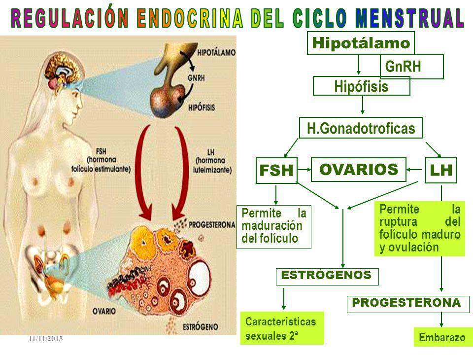 Utero: Órgano muscular grueso, recibe al cigoto, lo nutre y protege en sus estados de embrión y feto.