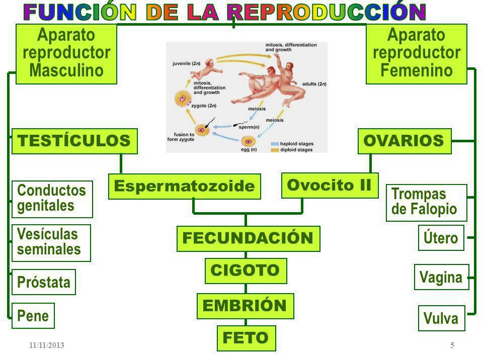 11/11/20135 TESTÍCULOS Próstata Vesículas seminales Conductos genitales Pene Espermatozoide Vagina OVARIOS Útero Vulva Trompas de Falopio Ovocito II FECUNDACIÓN CIGOTO FETO EMBRIÓN Aparato reproductor Masculino Aparato reproductor Femenino