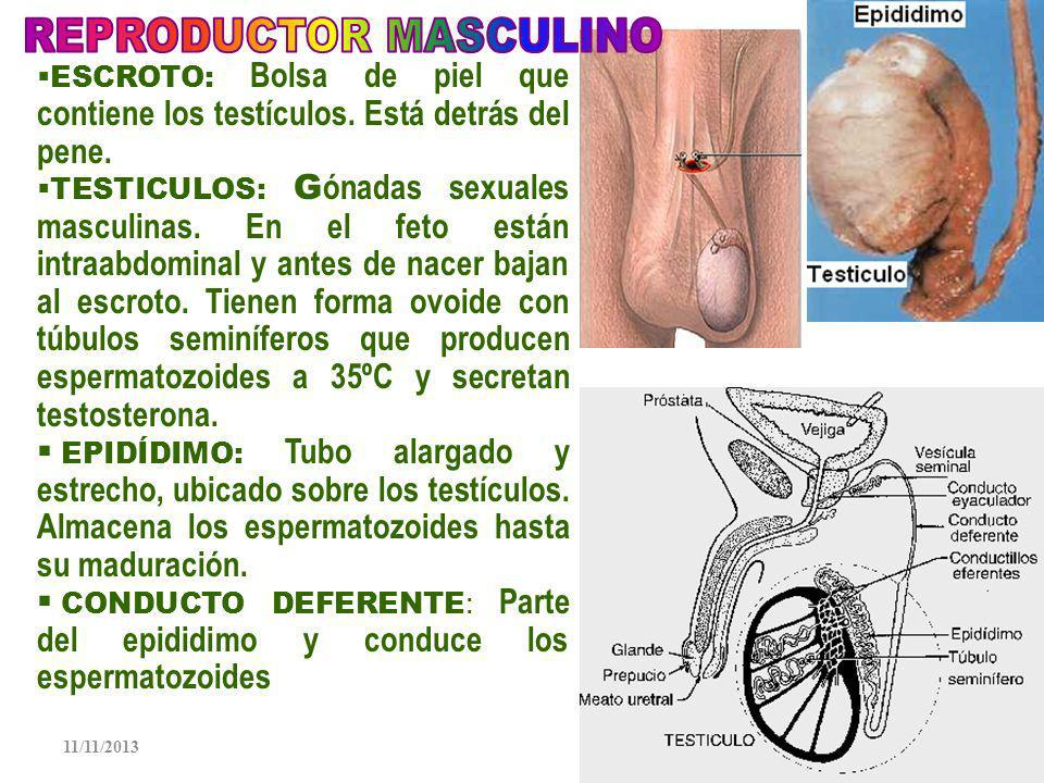 11/11/20136 PENE: Organo de la copulación, que se llena de sangre y se erecta, para poder penetrar en la vagina, durante el acto sexual, libera semen, fluido secretado que contiene los espermatozoides y líquidos seminales, además elimina la orina Glande: Cabeza del pene es esponjosa.