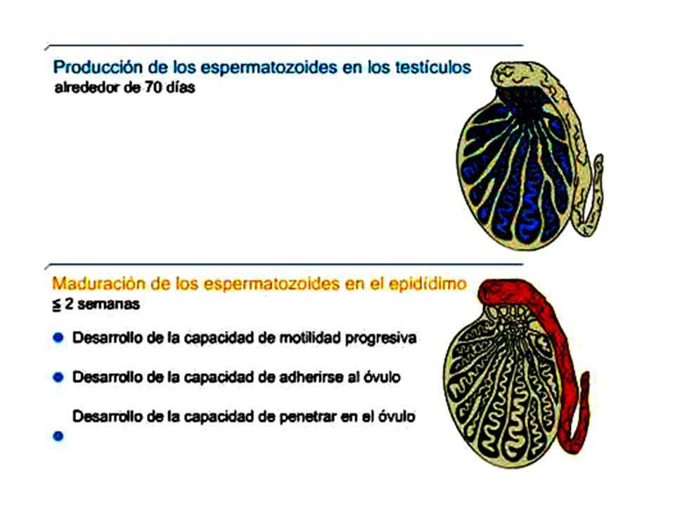 fase folicularfase luteínica fase proliferativafase secretora