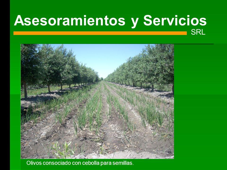 Asesoramientos y Servicios SRL Olivos consociado con cebolla para semillas.
