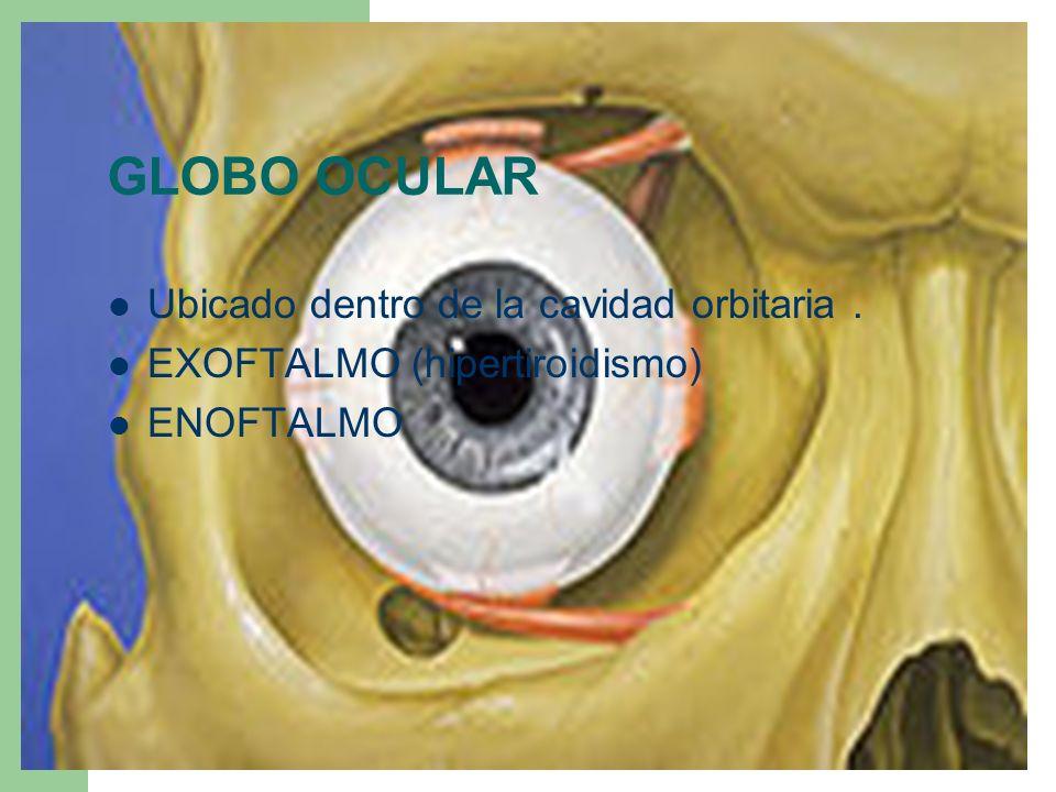 Ubicado dentro de la cavidad orbitaria. EXOFTALMO (hipertiroidismo) ENOFTALMO