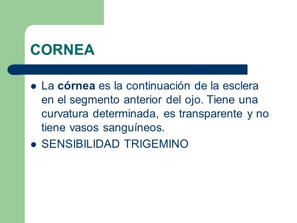 CORNEA La córnea es la continuación de la esclera en el segmento anterior del ojo. Tiene una curvatura determinada, es transparente y no tiene vasos s