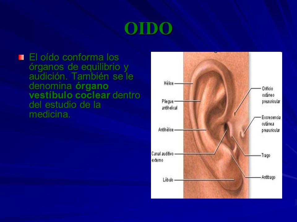 OIDO El oído conforma los órganos de equilibrio y audición. También se le denomina órgano vestíbulo coclear dentro del estudio de la medicina.