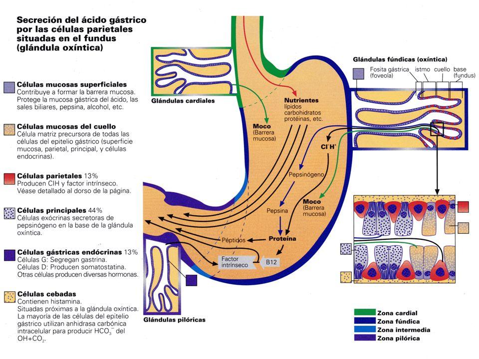 Células parietales: Distribuidas principalmente en el fondo y en el cuerpo gástrico Secretan ácido clorhídrico Por cada H+ secretado a la mucosa pasa un HCO3- al sistema venoso gástrico: marea alcalina El último paso en la secreción de ácido viene dado por una bomba de protones (h+,k+,ATPasa) que intercambia H+ por K+ en las membranas de las microvellosidades