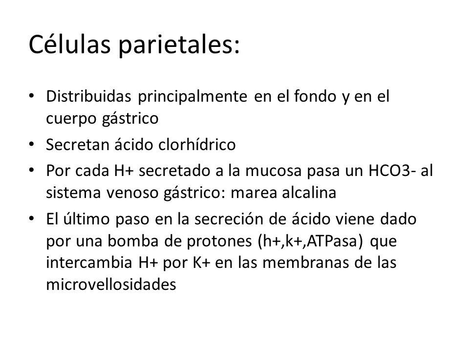 Células parietales: Distribuidas principalmente en el fondo y en el cuerpo gástrico Secretan ácido clorhídrico Por cada H+ secretado a la mucosa pasa