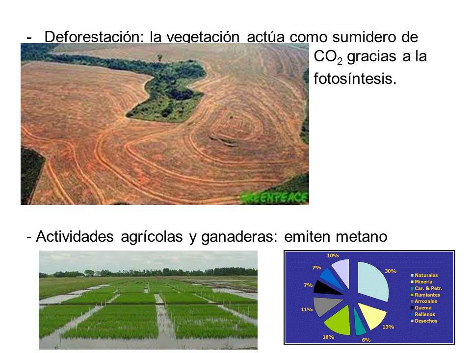 -Deforestación: la vegetación actúa como sumidero de CO 2 gracias a la - fotosíntesis. - Actividades agrícolas y ganaderas: emiten metano