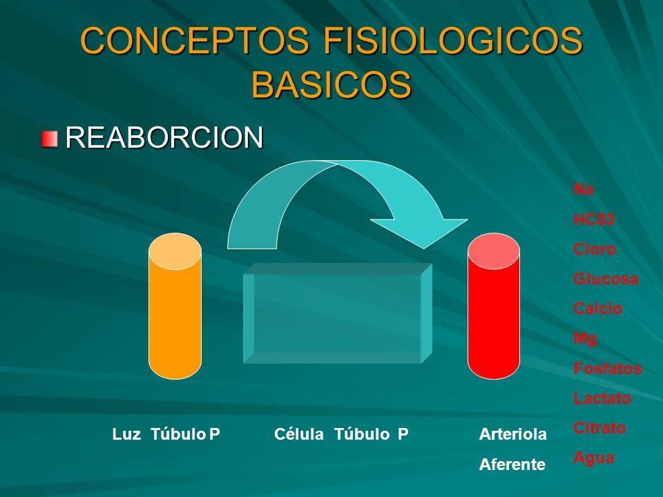 CONCEPTOS FISIOLOGICOS BASICOS REABORCION Luz Túbulo P Célula Túbulo PArteriola Aferente Na HC03 Cloro Glucosa Calcio Mg Fosfatos Lactato Citrato Agua
