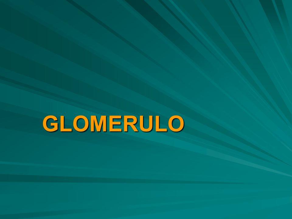 GLOMERULO GLOMERULO