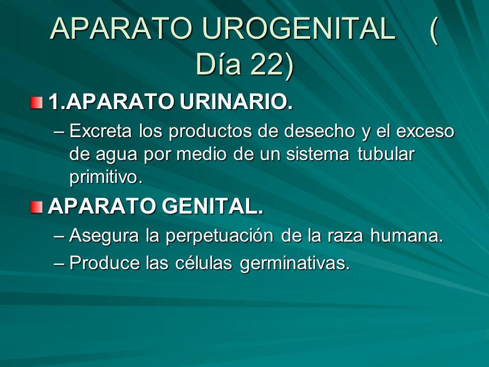 APARATO UROGENITAL ( Día 22) 1.APARATO URINARIO. –Excreta los productos de desecho y el exceso de agua por medio de un sistema tubular primitivo. APAR