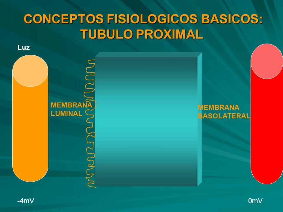 CONCEPTOS FISIOLOGICOS BASICOS: TUBULO PROXIMAL CONCEPTOS FISIOLOGICOS BASICOS: TUBULO PROXIMAL Luz -4mV 0mV MEMBRANA LUMINAL MEMBRANA BASOLATERAL