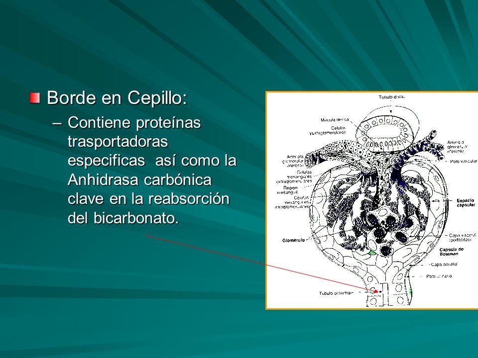 Borde en Cepillo: –Contiene proteínas trasportadoras especificas así como la Anhidrasa carbónica clave en la reabsorción del bicarbonato.