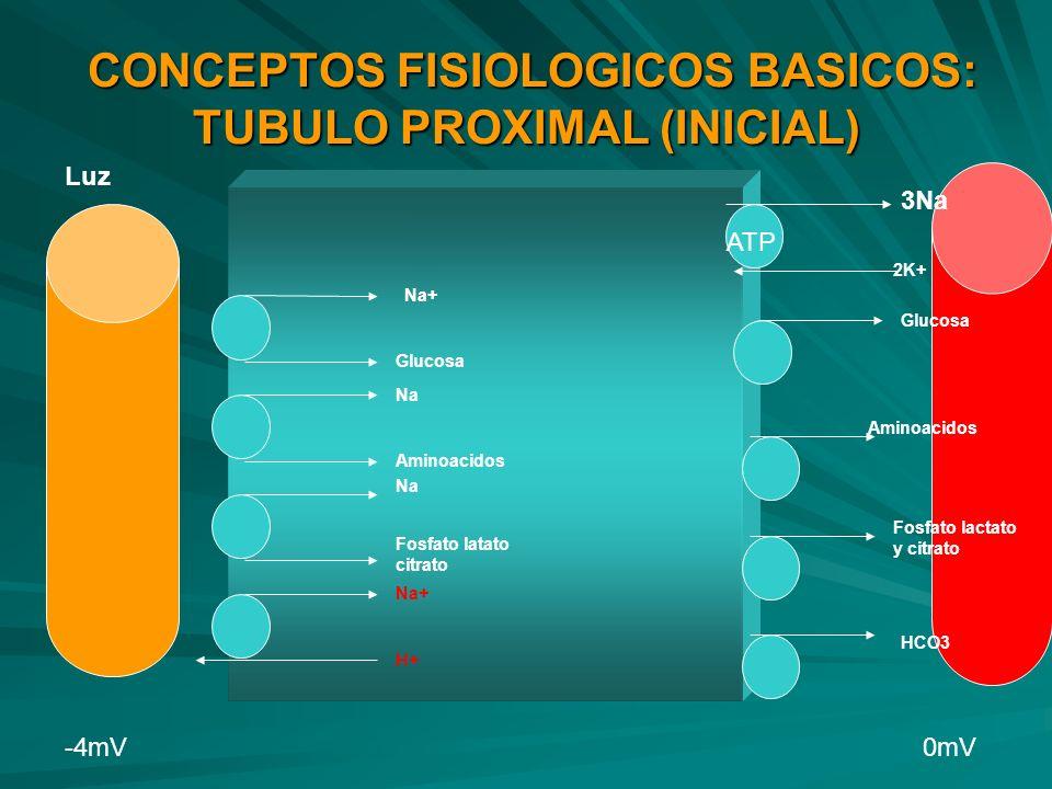 CONCEPTOS FISIOLOGICOS BASICOS: TUBULO PROXIMAL (INICIAL) CONCEPTOS FISIOLOGICOS BASICOS: TUBULO PROXIMAL (INICIAL) Luz Na+ Glucosa Na Aminoacidos Na