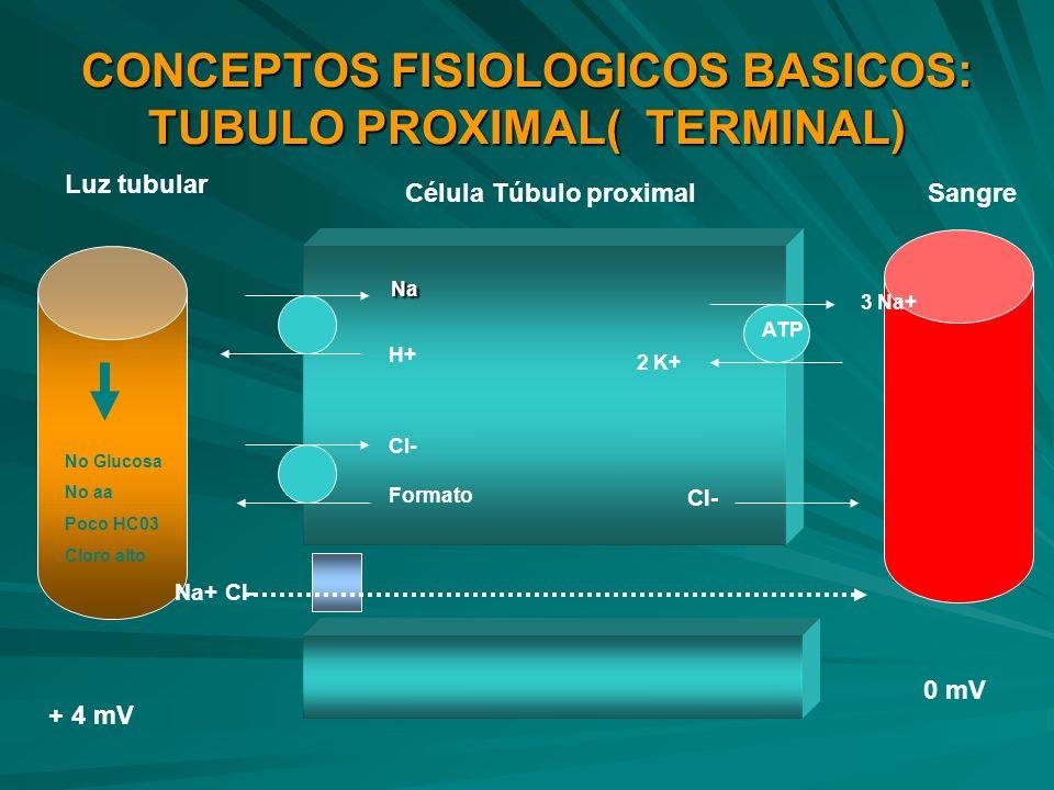 CONCEPTOS FISIOLOGICOS BASICOS: TUBULO PROXIMAL( TERMINAL) Na Na H+ Cl- Formato ATP Cl- Na+ Cl- Luz tubular SangreCélula Túbulo proximal + 4 mV 0 mV 3