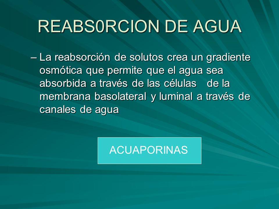 REABS0RCION DE AGUA –La reabsorción de solutos crea un gradiente osmótica que permite que el agua sea absorbida a través de las células de la membrana