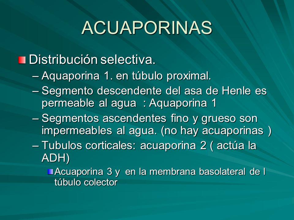 ACUAPORINAS Distribución selectiva. –Aquaporina 1. en túbulo proximal. –Segmento descendente del asa de Henle es permeable al agua : Aquaporina 1 –Seg