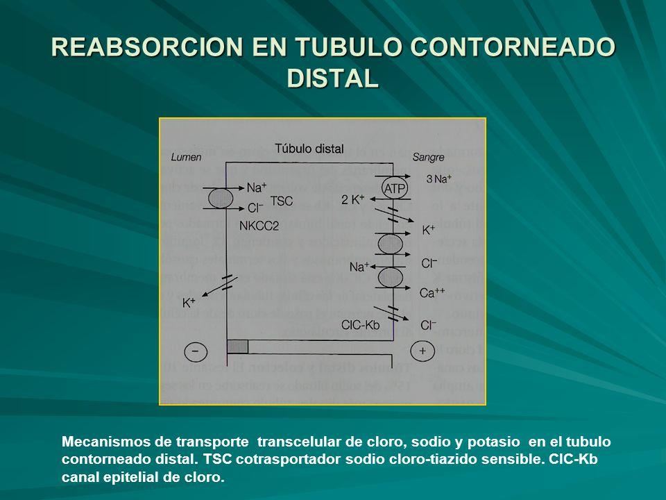 REABSORCION EN TUBULO CONTORNEADO DISTAL Mecanismos de transporte transcelular de cloro, sodio y potasio en el tubulo contorneado distal. TSC cotraspo