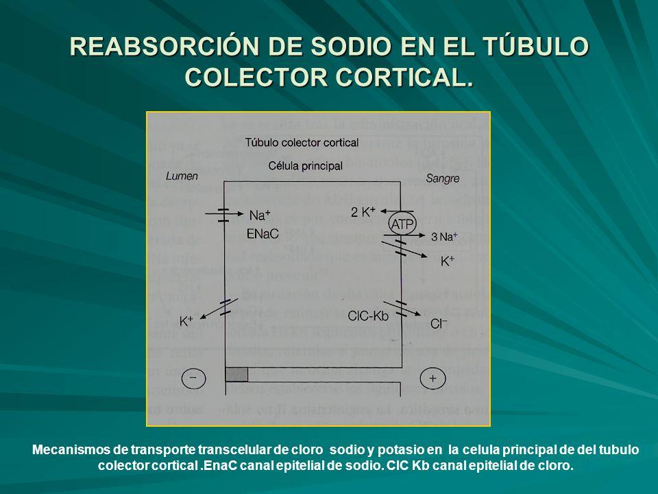 REABSORCIÓN DE SODIO EN EL TÚBULO COLECTOR CORTICAL. Mecanismos de transporte transcelular de cloro sodio y potasio en la celula principal de del tubu