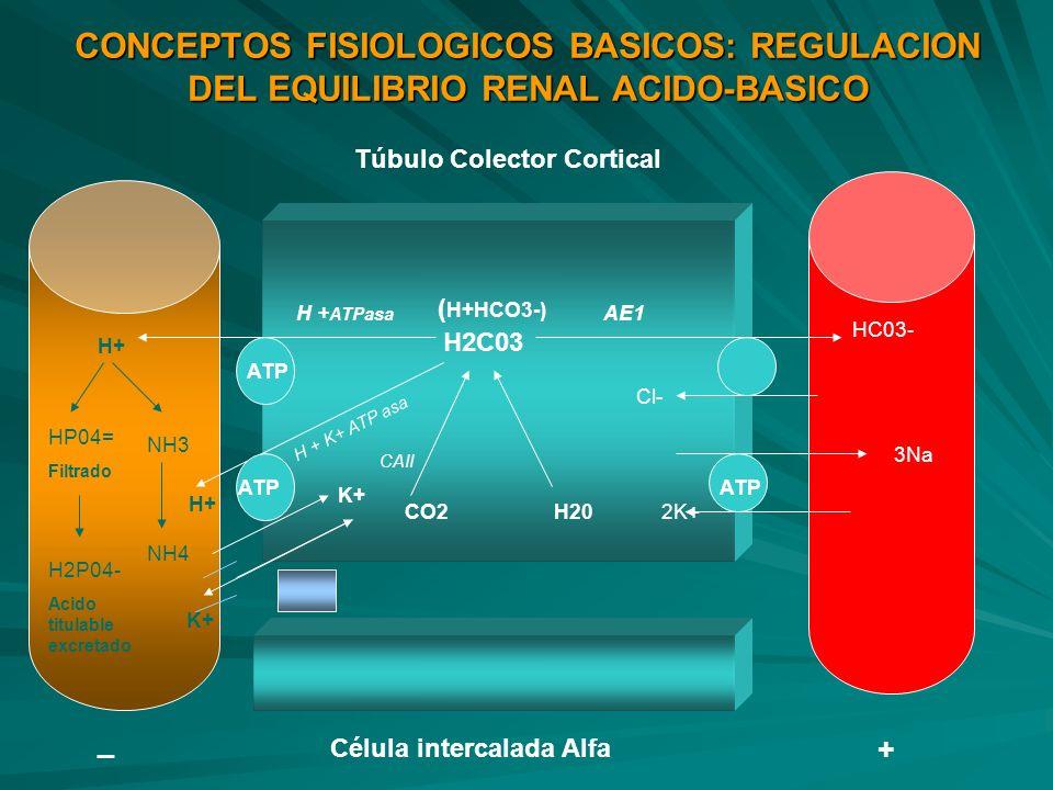 CONCEPTOS FISIOLOGICOS BASICOS: REGULACION DEL EQUILIBRIO RENAL ACIDO-BASICO H2C03 H+ HP04= Filtrado H2P04- Acido titulable excretado NH3 NH4 CO2H20 H