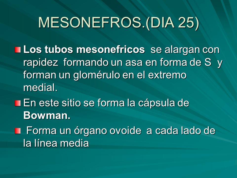 MESONEFROS.(DIA 25) Los tubos mesonefricos se alargan con rapidez formando un asa en forma de S y forman un glomérulo en el extremo medial. En este si