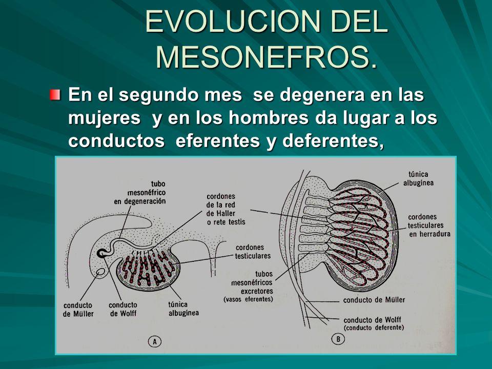 EVOLUCION DEL MESONEFROS. En el segundo mes se degenera en las mujeres y en los hombres da lugar a los conductos eferentes y deferentes,