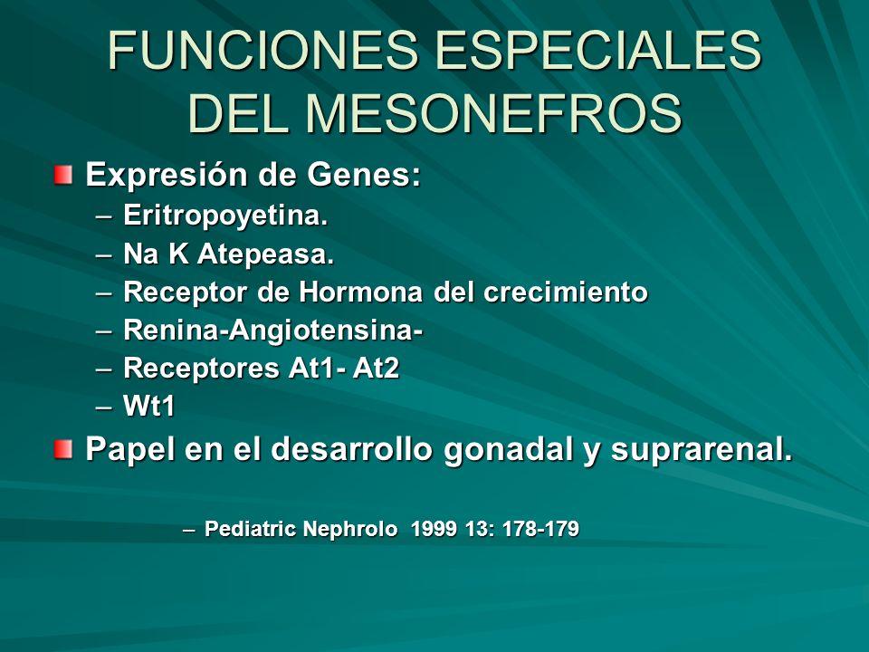 FUNCIONES ESPECIALES DEL MESONEFROS Expresión de Genes: –Eritropoyetina. –Na K Atepeasa. –Receptor de Hormona del crecimiento –Renina-Angiotensina- –R