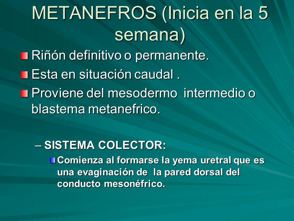 METANEFROS (Inicia en la 5 semana) Riñón definitivo o permanente. Esta en situación caudal. Proviene del mesodermo intermedio o blastema metanefrico.