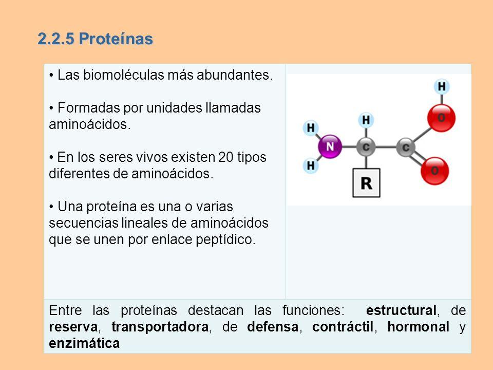 Las biomoléculas más abundantes. Formadas por unidades llamadas aminoácidos. En los seres vivos existen 20 tipos diferentes de aminoácidos. Una proteí