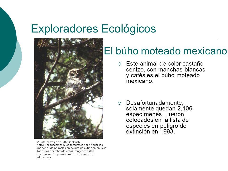 Exploradores Ecológicos Este animal de color castaño cenizo, con manchas blancas y cafés es el búho moteado mexicano. Desafortunadamente, solamente qu