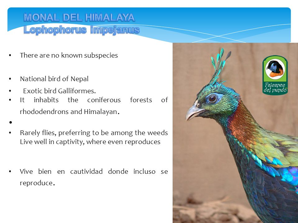 There are no known subspecies National bird of Nepal Exotic bird Galliformes. It inhabits the coniferous forests of rhododendrons and Himalayan. Rarel