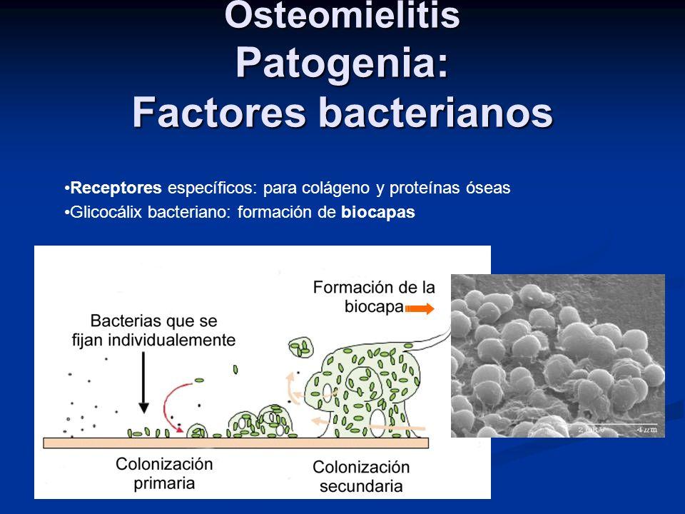 Osteomielitis Patogenia: Factores bacterianos Receptores específicos: para colágeno y proteínas óseas Glicocálix bacteriano: formación de biocapas