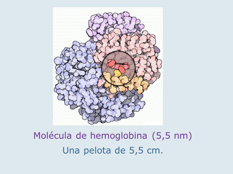 Molécula de hemoglobina (5,5 nm) Una pelota de 5,5 cm.