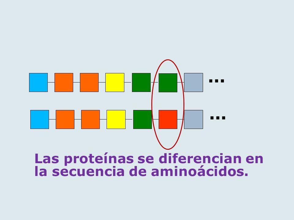 Las proteínas se diferencian en la secuencia de aminoácidos....