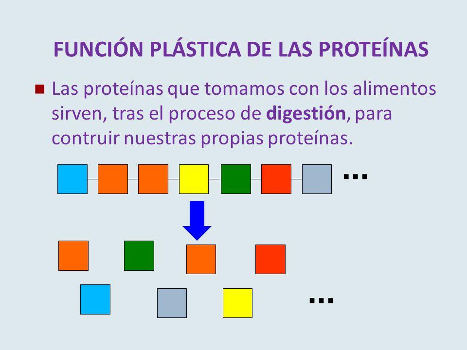 FUNCIÓN PLÁSTICA DE LAS PROTEÍNAS Las proteínas que tomamos con los alimentos sirven, tras el proceso de digestión, para contruir nuestras propias pro
